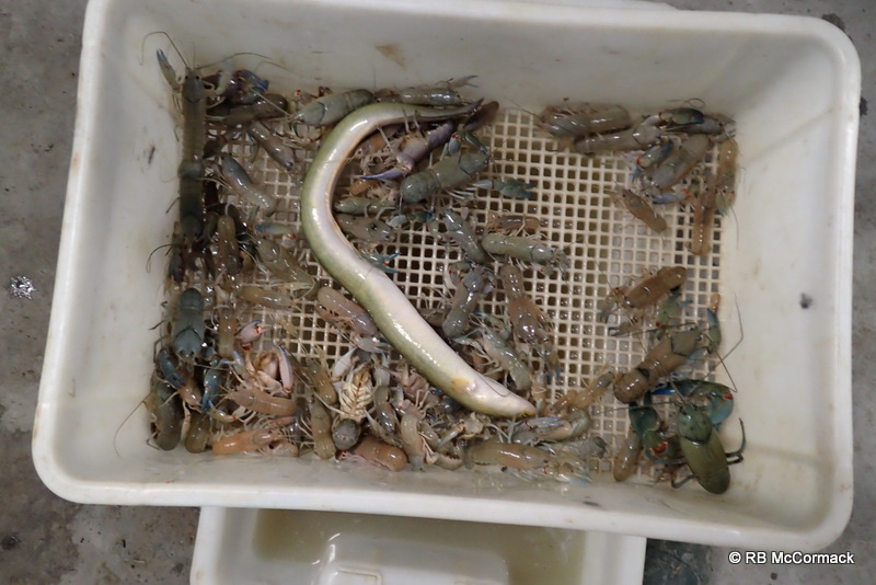 Eels are easily captured in these traps