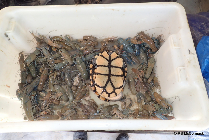 Eastern Long Neck Turtles are easily captured in these traps
